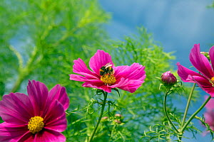 Cosmos flower (Cosmos bipinnatus) cultivated plant in border, with Bumblebee (Bombus sp)s pollinating. - Ernie  Janes