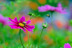 Cosmos flower (Cosmos bipinnatus) cultivated plant in garden border, with Bumblebee (Bombus sp) in flight. - Ernie  Janes
