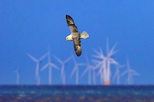 RF- Northern fulmar (Fulmarus glacialis) in flight over sea with offshore wind farm, Hunstanton, Norfolk, UK, February. (This image may be licensed either as rights managed or royalty free.) - Ernie  Janes
