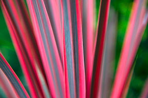 Cabbage palm (Cordyline australis) 'Pink Passion' close up of leaves, cultivated plant, UK. August.  -  Ernie  Janes