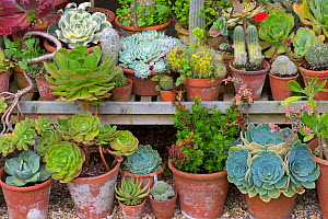 Summer house with Cacti and succulent collection, The Old Vicarage Garden, East Ruston, Norfolk, England, UK, July 2015.  -  Ernie  Janes