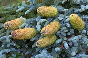 Blue spruce (Picea pungens) close up of cones, cultivated plant.  -  Ernie  Janes