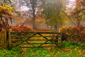 Beech tree (Fagus sylvatica) in autumn, with gate, Felbrigg Great Wood, Norfolk, UK,  November  -  Ernie  Janes