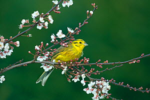Yellow hammer (Emberiza citinella) perched on flowering plum blossom, England, UK, February. - Ernie  Janes
