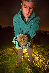 Conservationist holding Hedgehog (Erinaceus europaeus) at night during survey work, Hampstead Heath, London, England, UK. September. - Matthew Maran