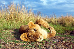 Lion (Panthera leo) cub, rolling over playfully, wide angle perspective taken with remote camera, Maasai Mara National Reserve, Kenya. August.  -  Anup Shah