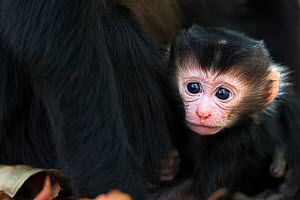 Lion-tailed macaque (Macaca silenus) infant age less than 1 month portrait . Anamalai Tiger Reserve, Western Ghats, Tamil Nadu, India. March.  -  Fiona Rogers