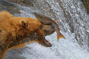 Grizzly bear (Ursus arctos horribilis) trying to catch Salmon leaping up the Brooks Falls, Alaska, USA, August. Small reproduction only. - Loic  Poidevin