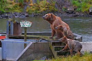 Grizzly bear (Ursus arctos horribillis) mother and cubs on fish pass, with sign saying 'Keep of fish pass' Katmai National Park, Alaska, USA. Small reproduction only. - Loic  Poidevin
