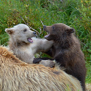 Grizzly bear (Ursus arctos horribilis) blond and brown cub playing next to blonde coloured mother, Katmai National Park, Alaska, USA, August. - Loic  Poidevin