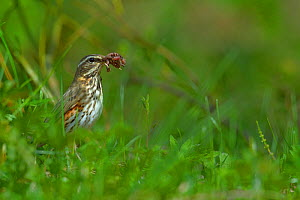 Redwing (Turdus iliacus) with earthworm, Finland, April. - Loic  Poidevin