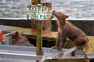 Grizzly bear (Ursus arctos horribilis) cubs on fish pass, investigating sign which says 'Keep Off Fish Pass'  Katmai, Alaska, USA, July. - Loic  Poidevin