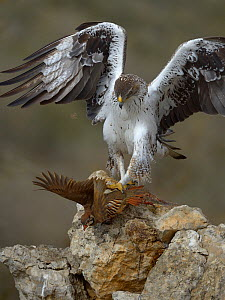 Bonelli's eagle (Aquila fasciata) feeding on Red legged partridge prey, Catalonia, Spain, February.  -  Loic  Poidevin