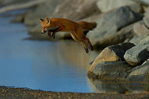 Red fox (Vulpes vulpes) juvenile leaping from rock on the shore, Nome, Alaska, September.  -  Loic  Poidevin