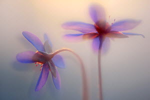 Liverleaf, (Hepatica nobilis) artistic photograph of flowers, Neubrandenburg, Germany, March. Finalist in the Plants and Fungi Category of the GDT Nature Photographer of the Year 2017  -  Sandra Bartocha