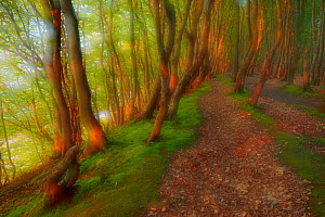European beech (Fagus sylvatica) forest with path and dappled light, artistic soft focus photograph. Marchenwald, Schwarbe, R�gen, Germany, May.  -  Sandra Bartocha