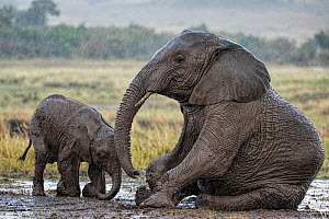 African Elephant (Loxodonta africana) mother and calf in rain, wallowing in mud. Maasai Mara, Kenya, Africa. September.  -  Andy  Rouse