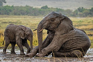 RF- African Elephant (Loxodonta africana) mother and calf in mud wallow in rain. Masai Mara, Kenya, Africa. September. (This image may be licensed either as rights managed or royalty free.)  -  Andy  Rouse