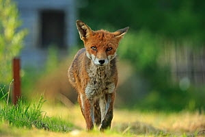 Red Fox (Vulpes vulpes) with mange. Cardiff, Wales. May.  -  Andy  Rouse