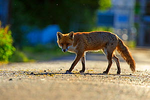 Red Fox (Vulpes vulpes) urban Cardiff, Wales. June.  -  Andy  Rouse