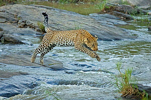 African Leopard (Panthera pardus) jumping across river Maasai Mara, Kenya, Africa. August. - Andy  Rouse