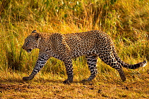 RF- African Leopard (Panthera pardus) walking. Maasai Mara, Kenya, Africa. August. (This image may be licensed either as rights managed or royalty free.)  -  Andy  Rouse