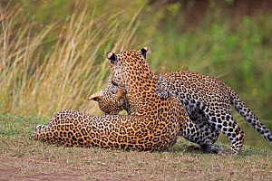 African Leopard (Panthera pardus) mother and cub. Masai Mara, Africa. September. - Andy  Rouse