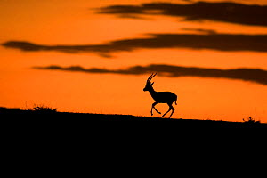 Thomsons Gazelle (Eudorcas thomsonii) running at sunset Masai Mara, Kenya  -  Andy  Rouse