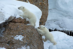 Polar Bear (Ursus maritimus) cubs climbing rocks. Svalbard, Norway. July.  -  Andy  Rouse