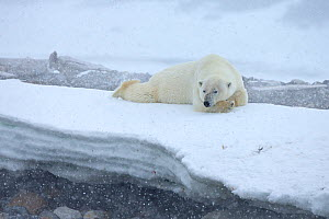 Polar Bear (Ursus maritimus) in snowstorm, Svalbard, Norway. July.  -  Andy  Rouse