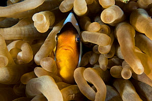 Red Sea anemonefish (Amphiprion bicinctus) in its host anemone , northern Red Sea.  -  Bertie Gregory