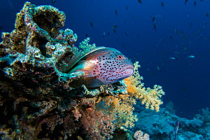 Freckled hawkfish, (Paracirrhites forsteri) on a coral reef, northern Red Sea.  -  Bertie Gregory