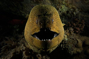 Giant moray eel (Gymnothorax javanicus) opening its mouth to breathe, at night on the barge wreck, Gubal Island, northern Red Sea.  -  Bertie Gregory