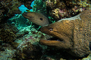 Pair of giant moray eels (Gymnothorax javanicus) in a cave, Gubal Island, northern Red Sea.  -  Bertie Gregory