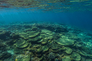 Hard table corals (Acropora) at Dolphin House Reef, northern Red Sea, February 2016  -  Bertie Gregory