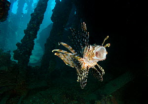Common lionfish (Pterois miles) stretching it's mouth in the cargo hold of the SS Ulysses, Gubal Island, northern Red Sea.  -  Bertie Gregory