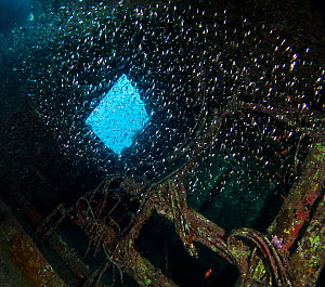 Glassfish (Ambassidae) inside the Ghiannis D wreck, Abu Nuhas reef, northern Red Sea.  -  Bertie Gregory