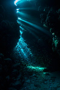 Cave full of Cave sweepers (Pempheris vanicolensis) in the northern Red Sea.  -  Bertie Gregory