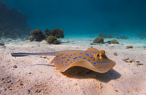 Bluespotted ribbontail ray (Taeniura lymma) swmming across a sandy lagoon off of Gubal Island, northern Red Sea. - Bertie Gregory