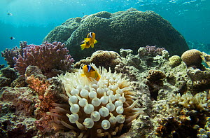 Red Sea anemonefish (Amphiprion bicinctus) in its host anemone  on a coral reef in the northern Red Sea, December.  -  Bertie Gregory