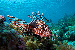 Common lionfish (Pterois miles) swimming over a coral reef, northern Red Sea. - Bertie Gregory
