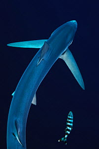 Blue shark (Prionace glauca) seen from above with pilot fish, Azores Islands, Portugal, Atlantic Ocean  -  Jordi Chias