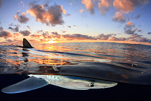 Split level view of Blue shark (Prionace glauca) at surface at sunset, Azores Islands, Portugal, Atlantic Ocean - Jordi Chias