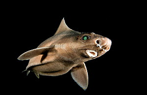 Angular roughshark (Oxynotus centrina) a deepsea species living at 80-300m depth,  caught by fishermen and released, Costa Brava, Catalunya, Spain, Mediterranean Sea  -  Jordi Chias