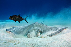 Southern stingray (Hypanus americanus) feeding on sandy bottom, Little Cayman, Cayman Islands, Caribbean - Jordi Chias