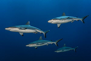 Grey reef sharks (Carcharhinus amblyrhynchos) in the south pass of Fakarava Tuamotus, French Polynesia, South Pacific - Jordi Chias