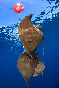 Pelagic stingray (Pteroplatytrygon violacea) trapped in an abandoned longline, example of bycatch, Barcelona coast, Spain, Mediterranean sea - Jordi Chias