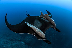 Giant Manta (Manta birostris) with Remoras (Remora brachyptera) attached to both wings, offshore Santa Maria Island, Azores, Atlantic Ocean - Jordi Chias