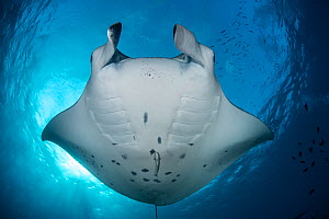Reef manta ray (Manta alfredi) being cleaned by small wrasses at cleaning station, South Ari atoll, Maldives, Indian Ocean - Jordi Chias