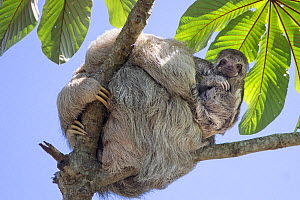 Brown-throated three-toed sloth (Bradypus variegatus) mother and baby, Cahuita, Costa Rica. - Suzi Eszterhas